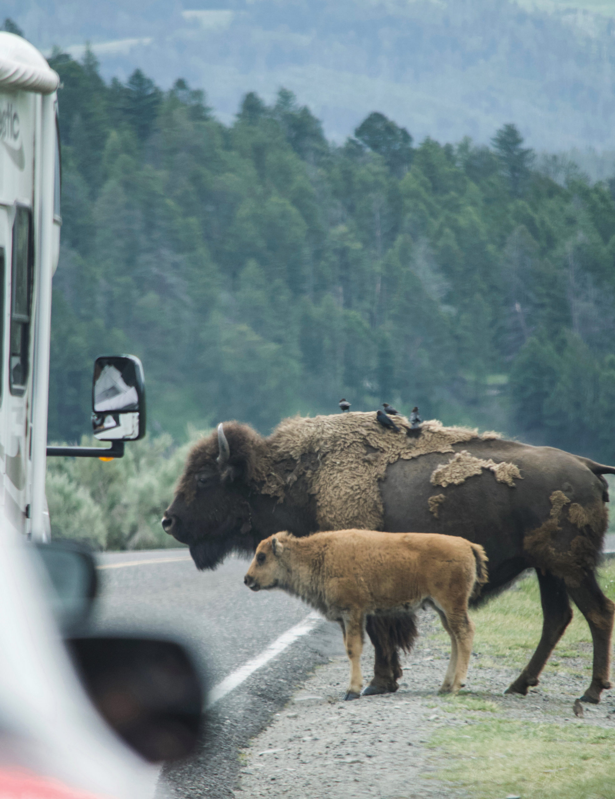 Crossing Roads In Yellowstone